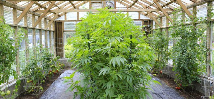 Indoor Growing, with Jorge Cervantes